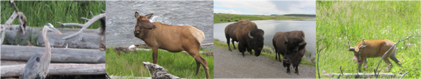 Deven's Yellowstone Trip - Wildlife wonders right in action